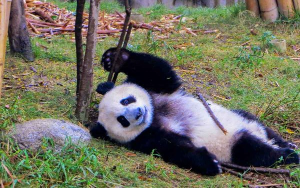 roteiro-de-viagem-china-chengdu-panda-base