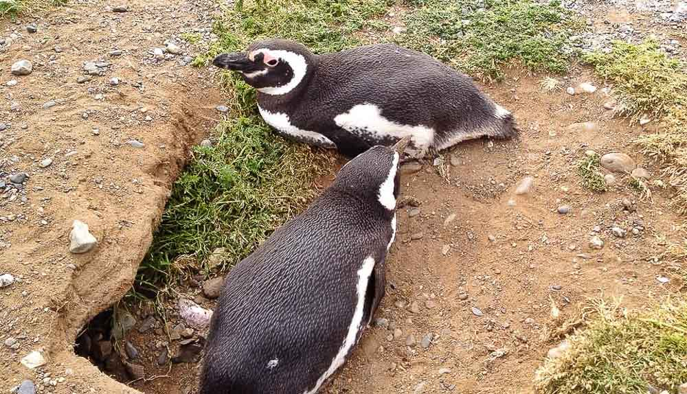 Pinguins-de-Magalhães na Isla Magdalena, Argentina