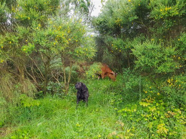 raça-de-cão-castro-laboreiro